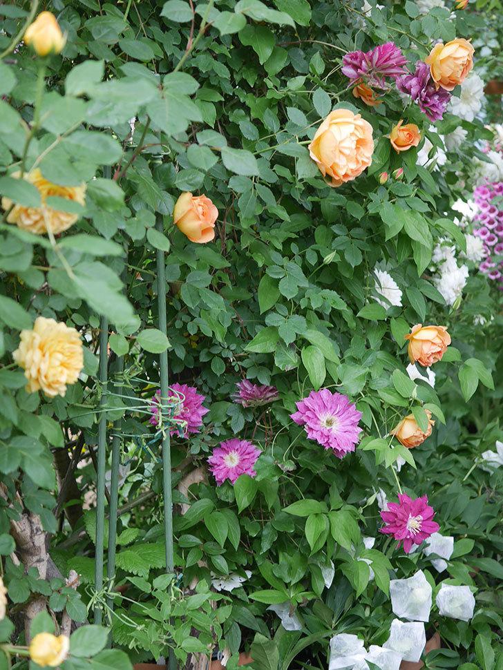 レディ・オブ・シャーロット(半ツルバラ)の花がたくさん咲いた。2020年-22.jpg