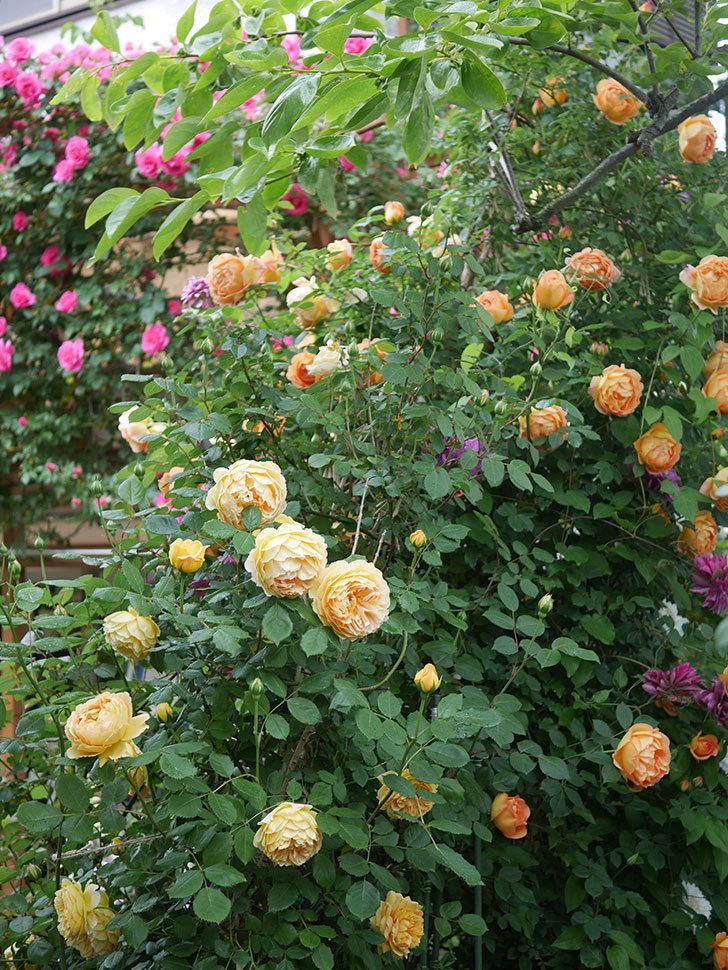 レディ・オブ・シャーロット(半ツルバラ)の花がたくさん咲いた。2020年-23.jpg