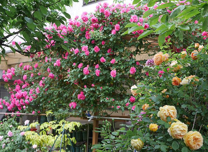 レディ・オブ・シャーロット(半ツルバラ)の花がたくさん咲いた。2020年-24.jpg