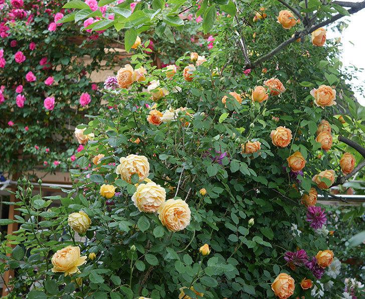 レディ・オブ・シャーロット(半ツルバラ)の花がたくさん咲いた。2020年-25.jpg