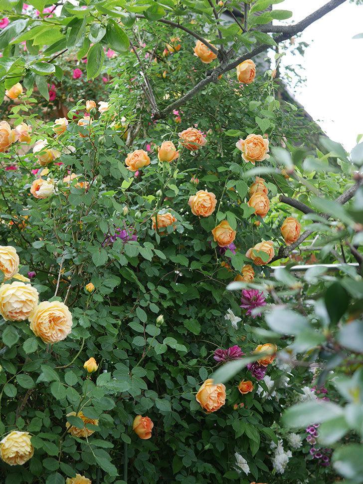 レディ・オブ・シャーロット(半ツルバラ)の花がたくさん咲いた。2020年-26.jpg