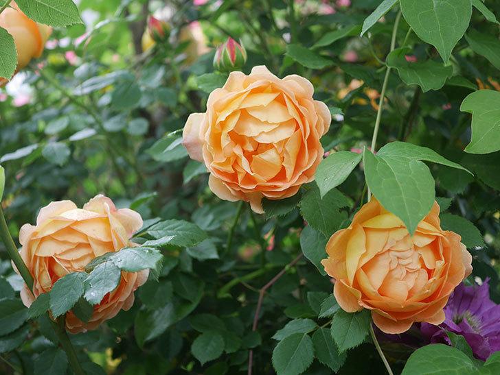 レディ・オブ・シャーロット(半ツルバラ)の花がたくさん咲いた。2020年-28.jpg
