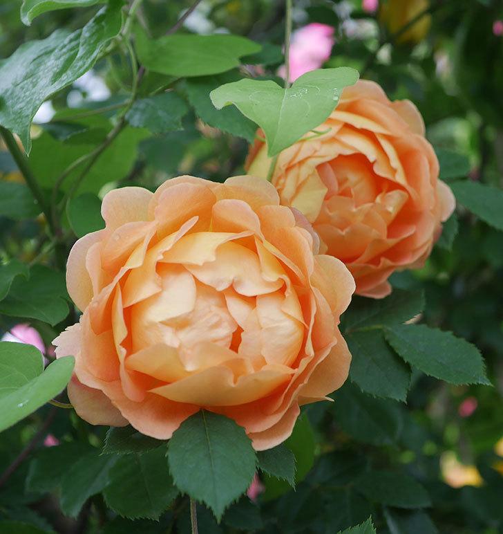 レディ・オブ・シャーロット(半ツルバラ)の花がたくさん咲いた。2020年-29.jpg