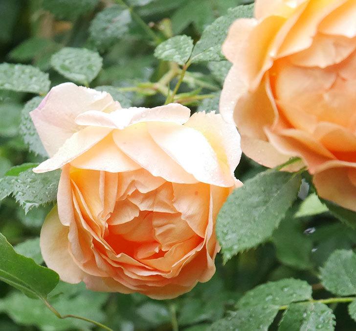 レディ・オブ・シャーロット(半ツルバラ)の花がたくさん咲いた。2020年-3.jpg