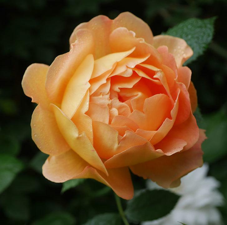 レディ・オブ・シャーロット(半ツルバラ)の花がたくさん咲いた。2020年-30.jpg