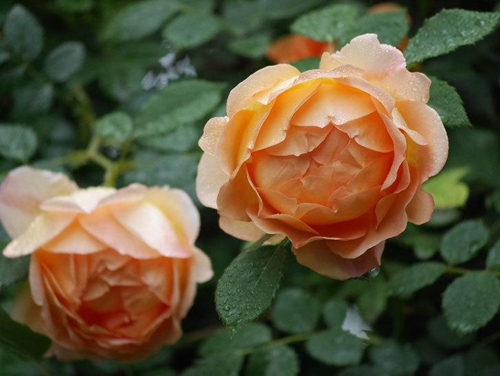 レディ・オブ・シャーロット(半ツルバラ)の花がたくさん咲いた。2020年-5.jpg