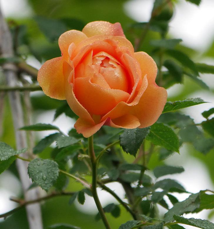 レディ・オブ・シャーロット(半ツルバラ)の花がたくさん咲いた。2020年-6.jpg