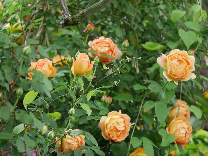 レディ・オブ・シャーロット(半ツルバラ)の花がたくさん咲いた。2020年-7.jpg