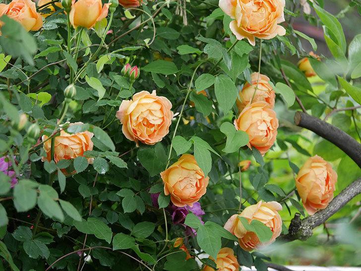 レディ・オブ・シャーロット(半ツルバラ)の花がたくさん咲いた。2020年-8.jpg