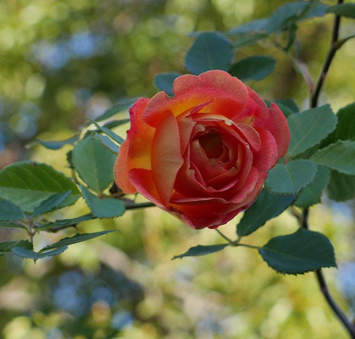レディ・オブ・シャーロット(半ツルバラ)の花がまだ咲いている。2020年-1.jpg