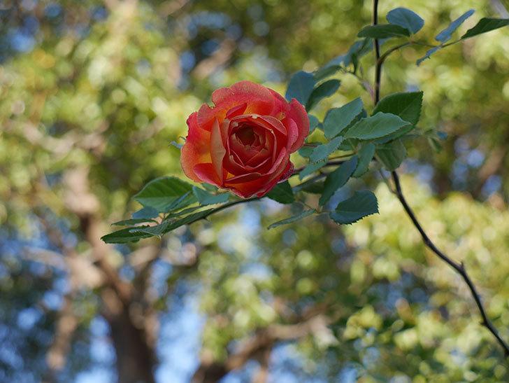 レディ・オブ・シャーロット(半ツルバラ)の花がまだ咲いている。2020年-2.jpg