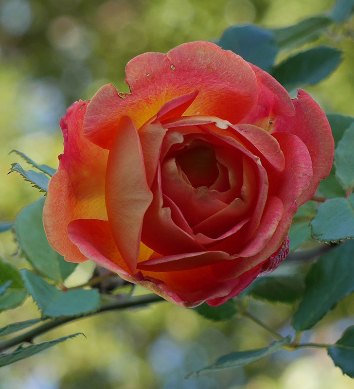 レディ・オブ・シャーロット(半ツルバラ)の花がまだ咲いている。2020年-3.jpg