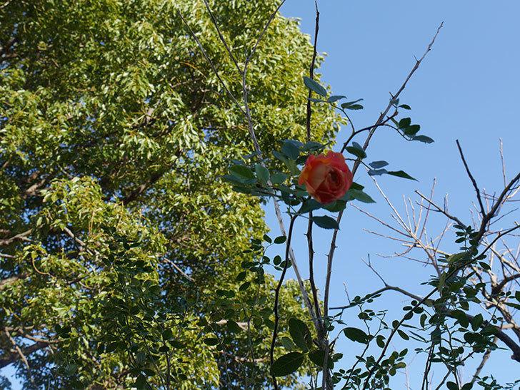 レディ・オブ・シャーロット(半ツルバラ)の花がまだ咲いている。2020年-4.jpg