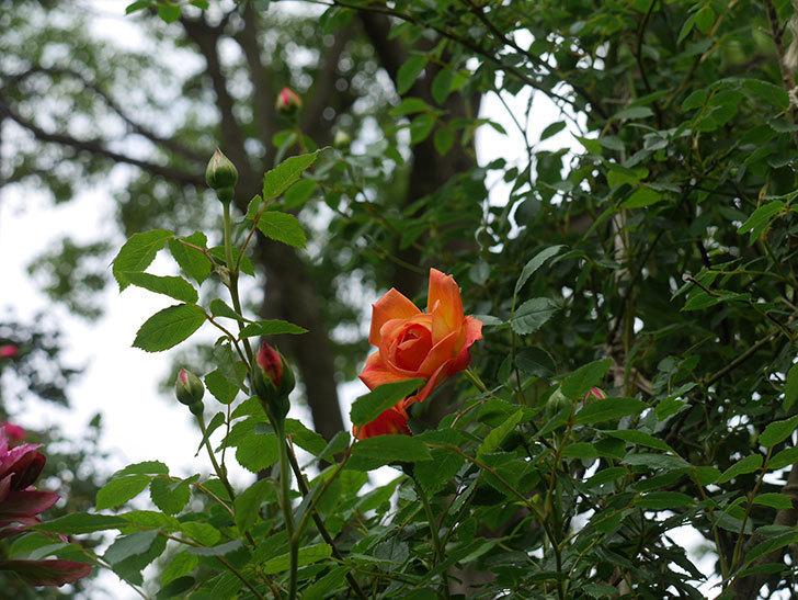 レディ・オブ・シャーロット(半ツルバラ)の花が咲きだした。2020年-2.jpg