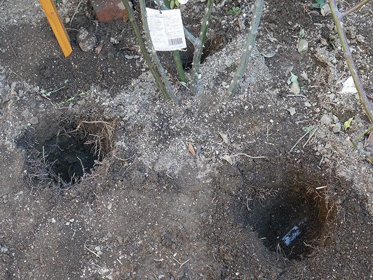 レディ・オブ・シャーロット(Lady of Shalott)に寒肥を施した。半ツルバラ。2021年-002.jpg