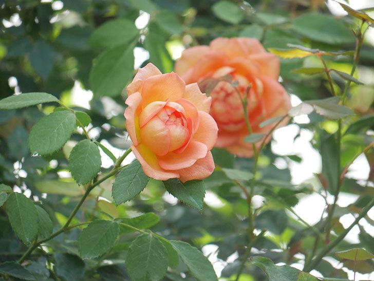 レディ・オブ・シャーロット(Lady of Shalott)の2番花が咲いた。半ツルバラ。2020年-001.jpg
