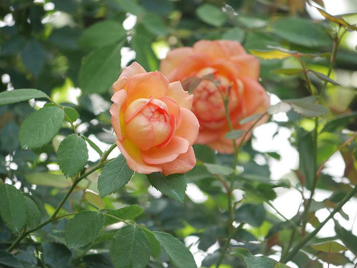 レディ・オブ・シャーロット(Lady of Shalott)の2番花が咲いた。半ツルバラ。2020年-002.jpg