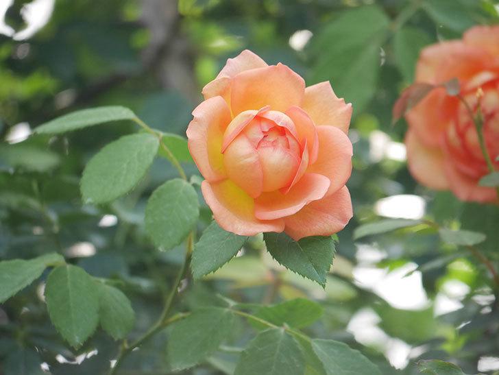 レディ・オブ・シャーロット(Lady of Shalott)の2番花が咲いた。半ツルバラ。2020年-003.jpg