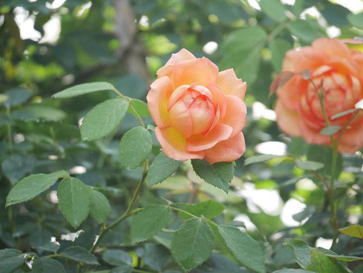 レディ・オブ・シャーロット(Lady of Shalott)の2番花が咲いた。半ツルバラ。2020年-006.jpg