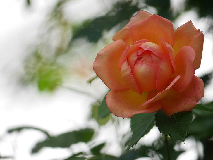 レディ・オブ・シャーロット(Lady of Shalott)の2番花が咲いた。半ツルバラ。2020年-007.jpg
