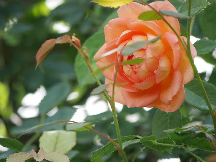 レディ・オブ・シャーロット(Lady of Shalott)の2番花が咲いた。半ツルバラ。2020年-009.jpg