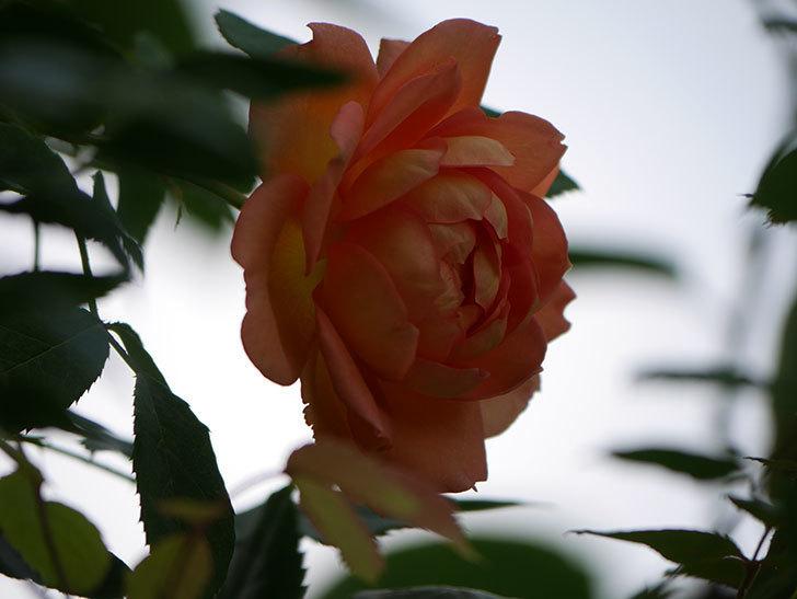 レディ・オブ・シャーロット(Lady of Shalott)の2番花が咲いた。半ツルバラ。2020年-011.jpg