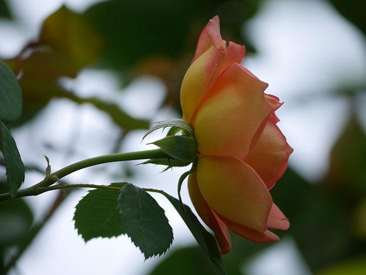 レディ・オブ・シャーロット(Lady of Shalott)の2番花が咲いた。半ツルバラ。2020年-012.jpg