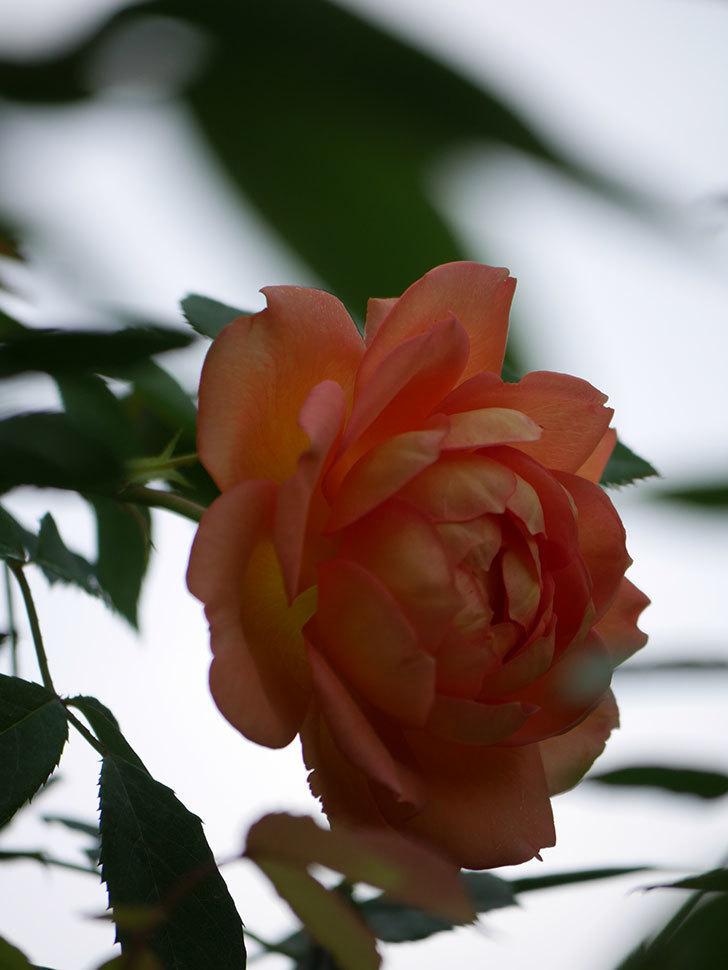 レディ・オブ・シャーロット(Lady of Shalott)の2番花が咲いた。半ツルバラ。2020年-013.jpg