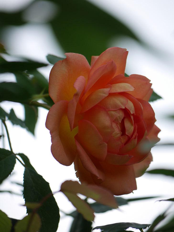 レディ・オブ・シャーロット(Lady of Shalott)の2番花が咲いた。半ツルバラ。2020年-015.jpg