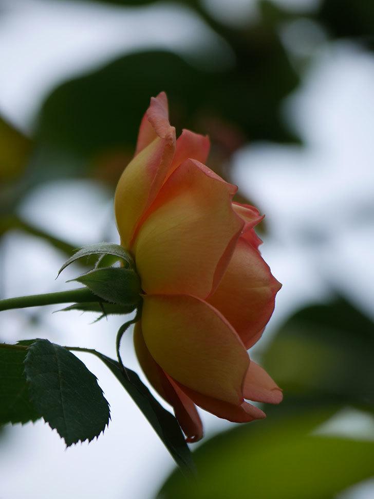 レディ・オブ・シャーロット(Lady of Shalott)の2番花が咲いた。半ツルバラ。2020年-016.jpg
