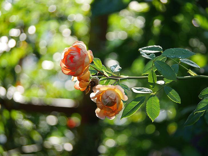 レディ・オブ・シャーロット(Lady of Shalott)の2番花が増えてきた。半ツルバラ。2020年-001.jpg