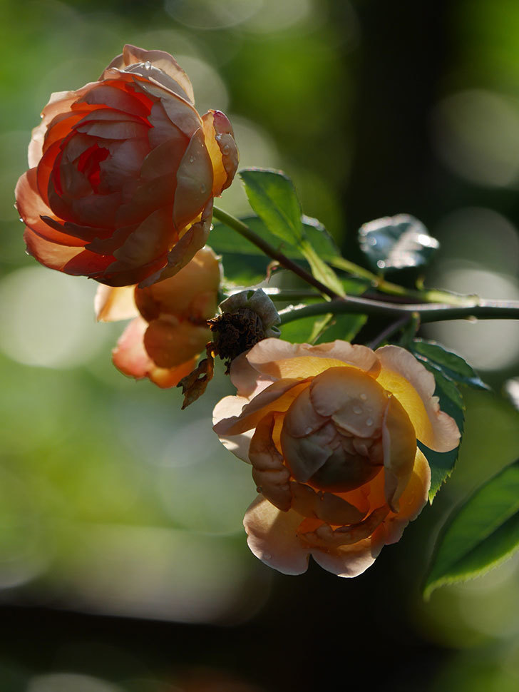 レディ・オブ・シャーロット(Lady of Shalott)の2番花が増えてきた。半ツルバラ。2020年-004.jpg