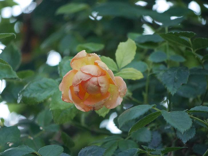 レディ・オブ・シャーロット(Lady of Shalott)の2番花が増えてきた。半ツルバラ。2020年-005.jpg