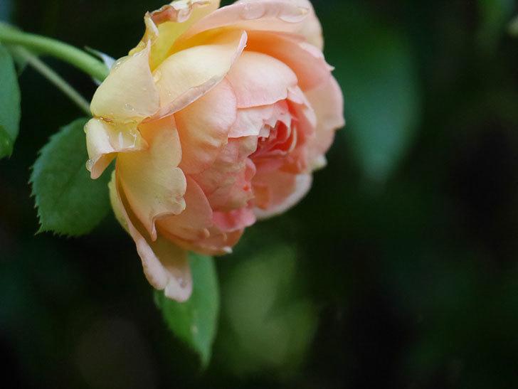 レディ・オブ・シャーロット(Lady of Shalott)の2番花が増えてきた。半ツルバラ。2020年-008.jpg