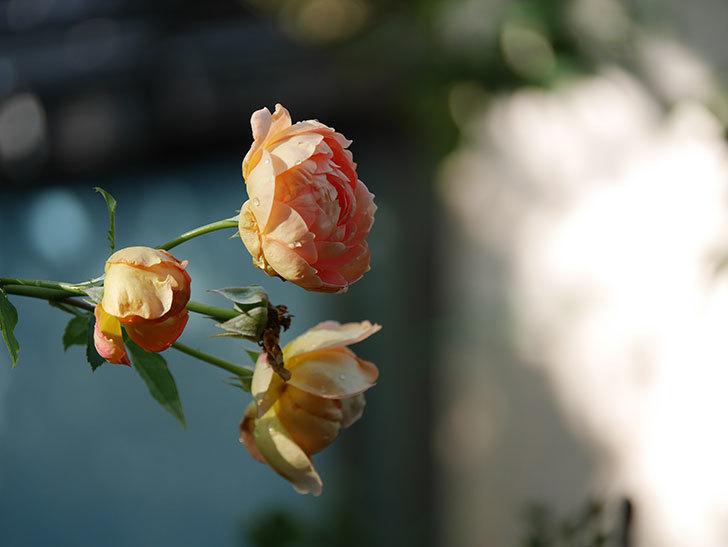 レディ・オブ・シャーロット(Lady of Shalott)の2番花が増えてきた。半ツルバラ。2020年-009.jpg