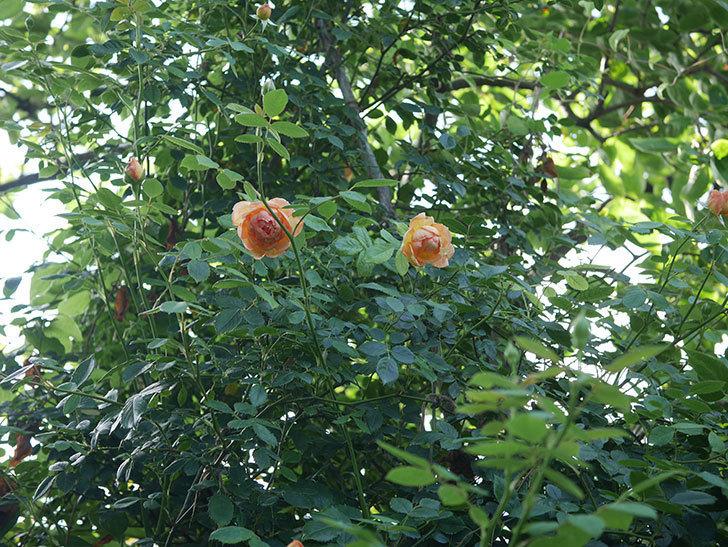 レディ・オブ・シャーロット(Lady of Shalott)の2番花が増えてきた。半ツルバラ。2020年-015.jpg