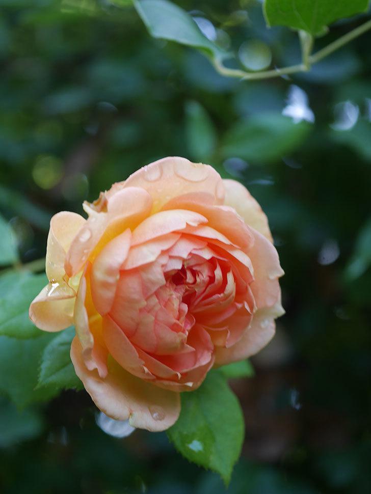 レディ・オブ・シャーロット(Lady of Shalott)の2番花が増えてきた。半ツルバラ。2020年-016.jpg