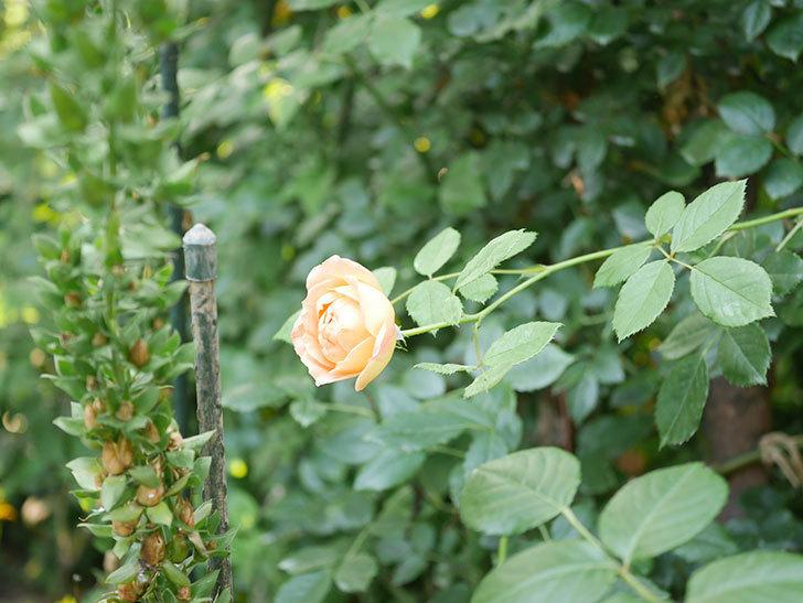 レディ・オブ・シャーロット(Lady of Shalott)の2番花が増えてきた。半ツルバラ。2020年-018.jpg