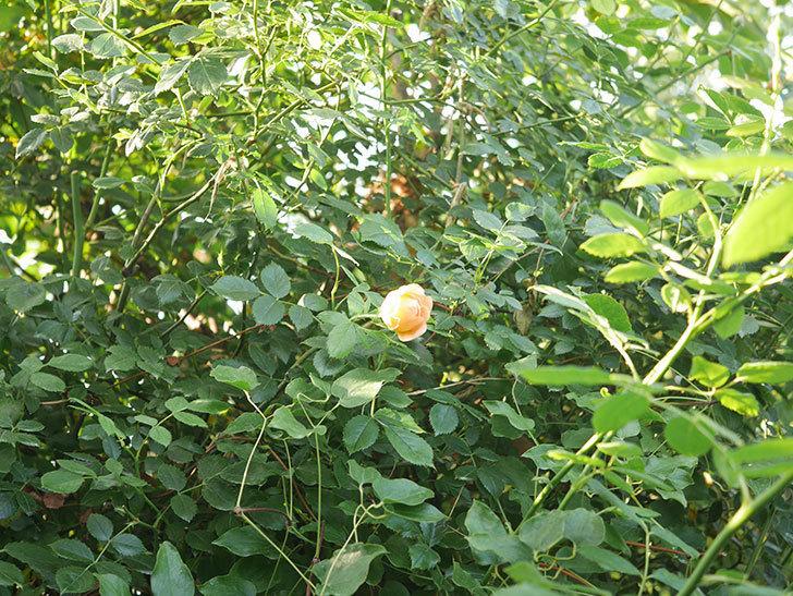 レディ・オブ・シャーロット(Lady of Shalott)の2番花が増えてきた。半ツルバラ。2020年-019.jpg