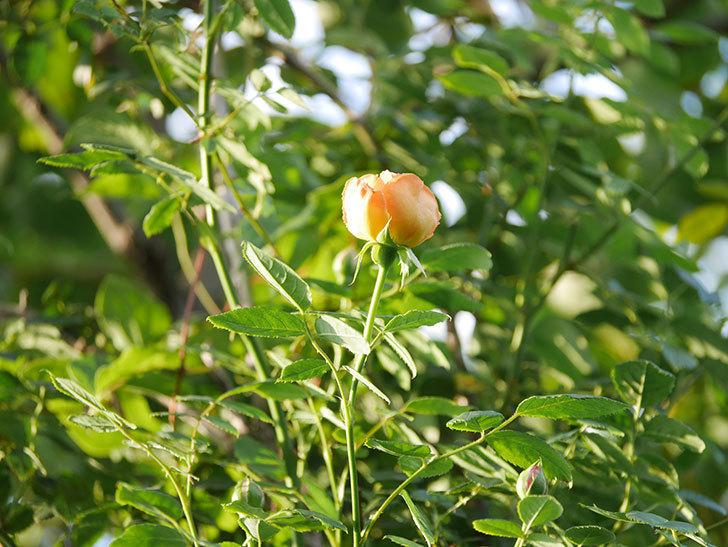 レディ・オブ・シャーロット(Lady of Shalott)の2番花が増えてきた。半ツルバラ。2020年-021.jpg