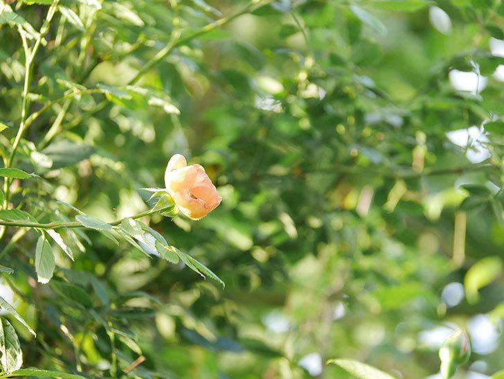 レディ・オブ・シャーロット(Lady of Shalott)の2番花が増えてきた。半ツルバラ。2020年-022.jpg