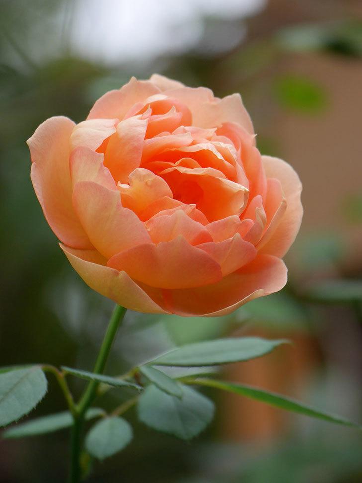 レディ・オブ・シャーロット(Lady of Shalott)の秋花が咲いた。半ツルバラ。2021年-021.jpg