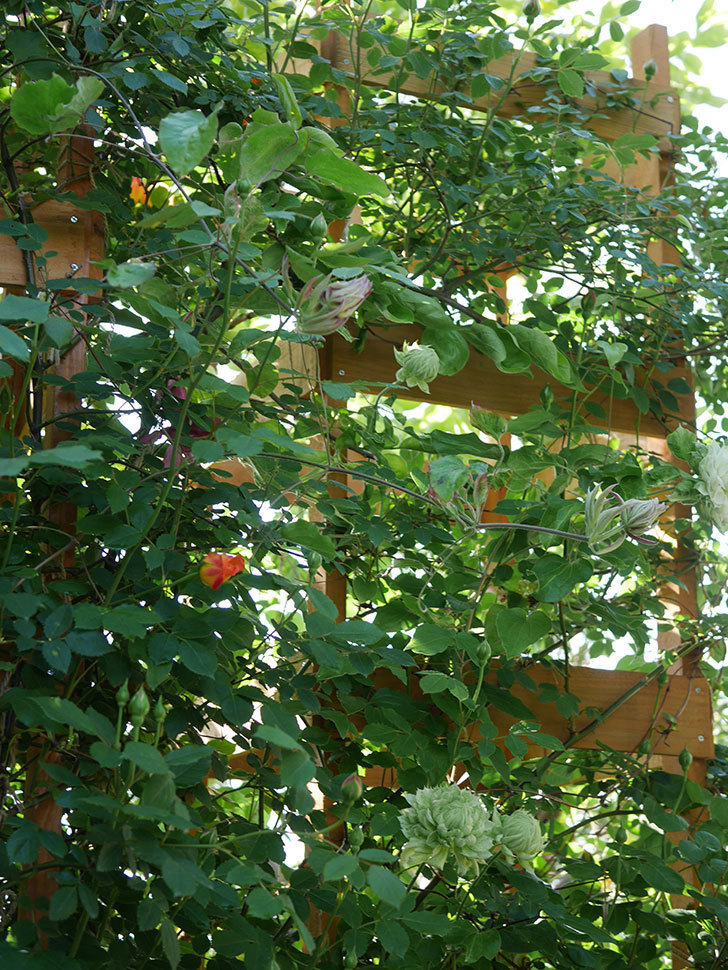 レディ・オブ・シャーロット(Lady of Shalott)の花が咲いた。半ツルバラ。2021年-001.jpg