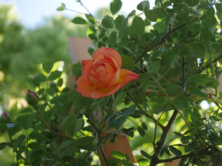 レディ・オブ・シャーロット(Lady of Shalott)の花が咲いた。半ツルバラ。2021年-003.jpg