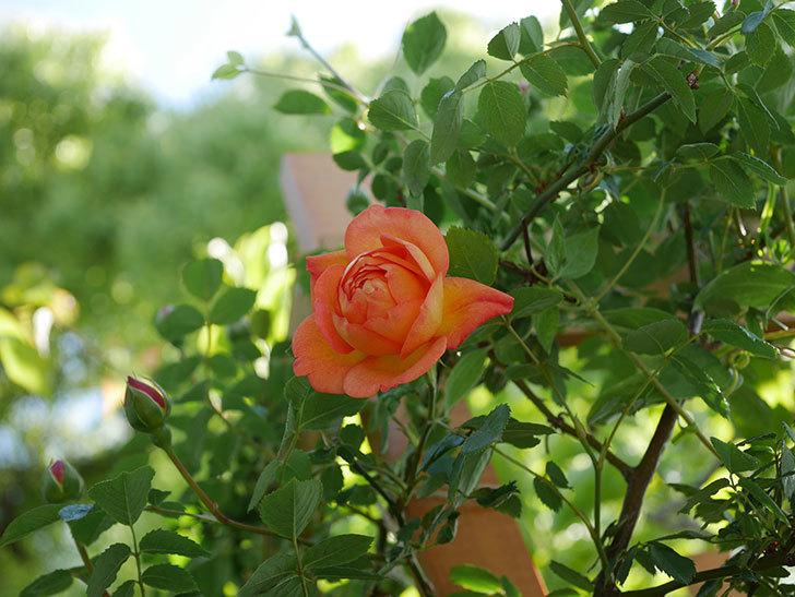 レディ・オブ・シャーロット(Lady of Shalott)の花が咲いた。半ツルバラ。2021年-004.jpg