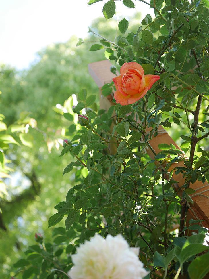 レディ・オブ・シャーロット(Lady of Shalott)の花が咲いた。半ツルバラ。2021年-005.jpg