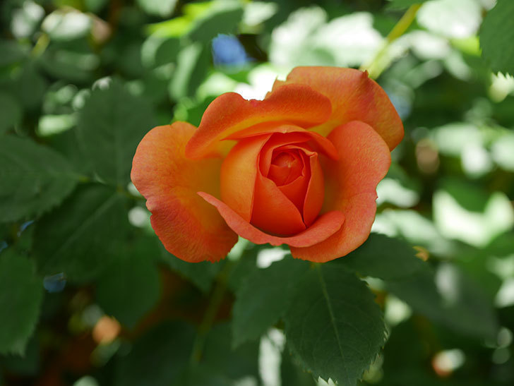レディ・オブ・シャーロット(Lady of Shalott)の花が咲いた。半ツルバラ。2021年-006.jpg