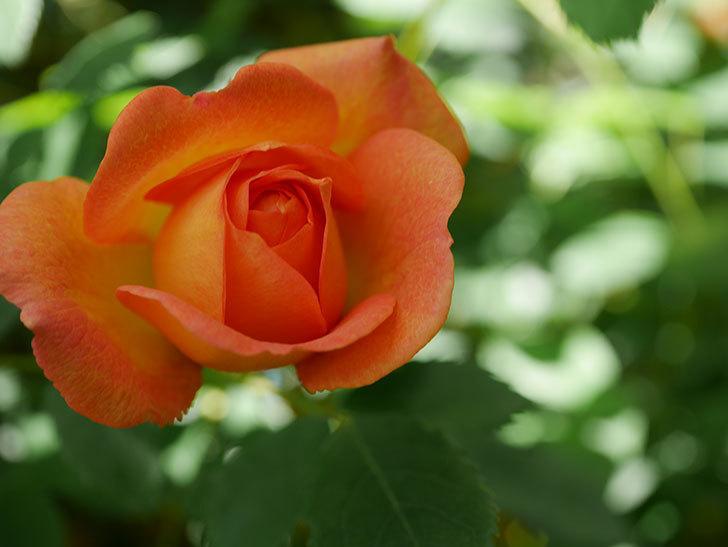 レディ・オブ・シャーロット(Lady of Shalott)の花が咲いた。半ツルバラ。2021年-009.jpg