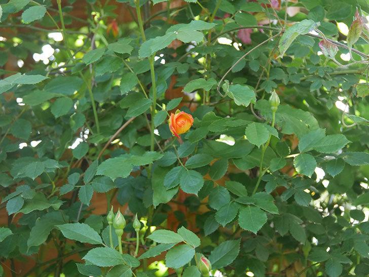 レディ・オブ・シャーロット(Lady of Shalott)の花が咲いた。半ツルバラ。2021年-010.jpg