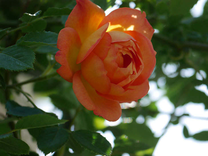 レディ・オブ・シャーロット(Lady of Shalott)の花が咲いた。半ツルバラ。2021年-014.jpg